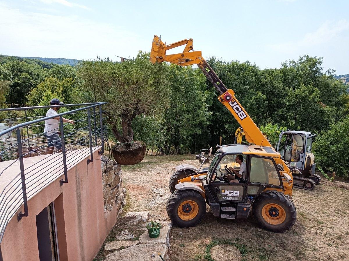 plantation d'un olivier grande taille